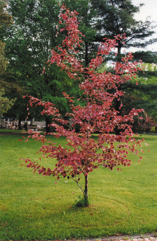Tri Color Beech Fagus Gro Best Gardens